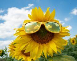 Die Sonnenblumen-Aktion